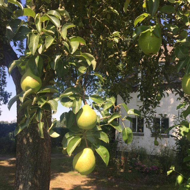 De peren staan er goed op dit jaar bij hoffenterhofhellip