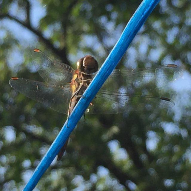 Natuur op hoffenterhof  libelle dragonfly