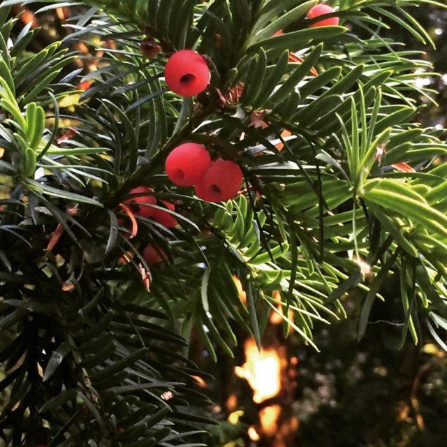 Bloeiende taxus in oktober in de tuin van hoffenterhof venijnboomhellip